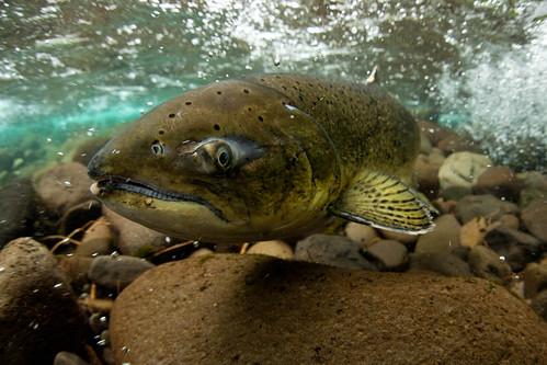 A Wild Spring Chinook Salmon