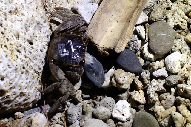 後灣擁有豐富的陸蟹多樣性。攝影:廖靜蕙