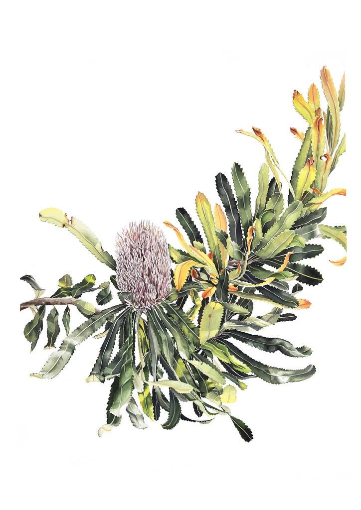 Sold banksia baueri by pip spiro 108 framed 700x930mm for Pip probert garden designer