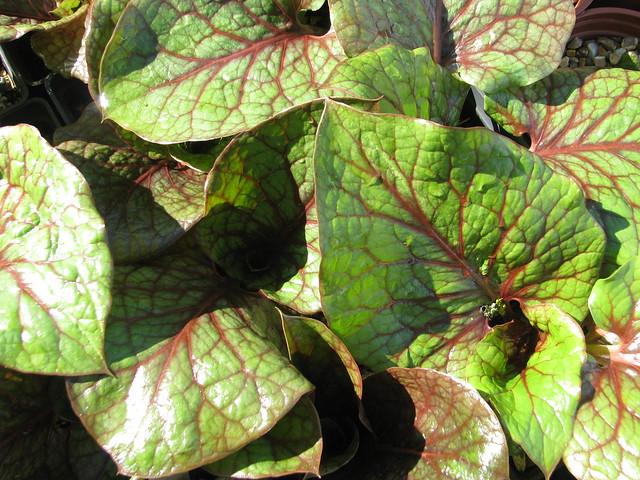 Cardiocrinum cordatum Red Vein