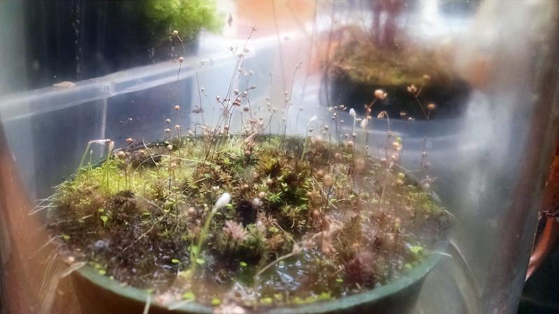 Utricularia sandersonii.