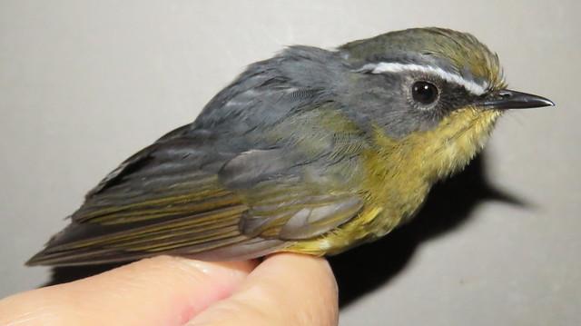 野外看到羽色黃褐色的白眉林鴝,要多留意一下囉,有可能是年輕的公鳥!(圖為白眉林鴝公鳥)圖片來源:mapsphotos(CC BY-NC-SA 2.0)