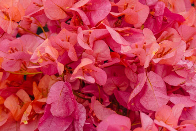 bougainvillea from RHS cardiff