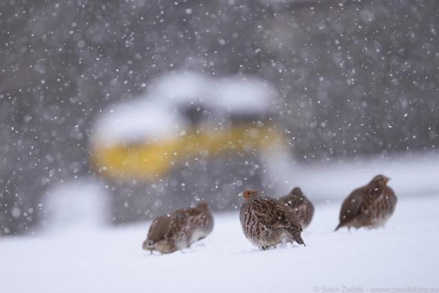 © - Fokusēšana snigšanas laikā. Lai spētu strādāt šādos apstākļos, autofokusam jābūt patiesi ātram (izsekošana ar izslēgtu bloķēšanu). Nikon D810 + Nikkor 500mm F4 VR FL. F4, 1/1250, ISO 640.