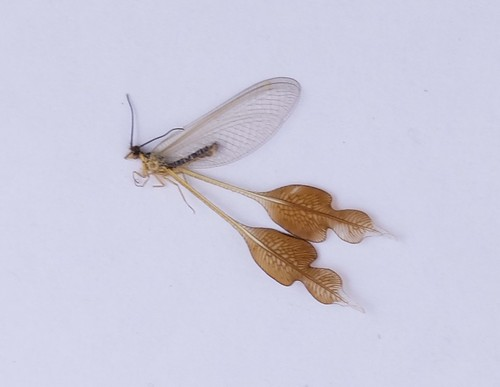 An undetermined spoonwing specimen with large, ornate, paddle-like hindwings.