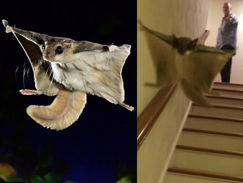 Flying Squirrel Glides Down A Flight Of Stairs