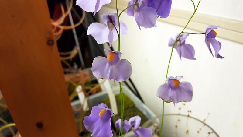 Utricularia longifolia flowers.