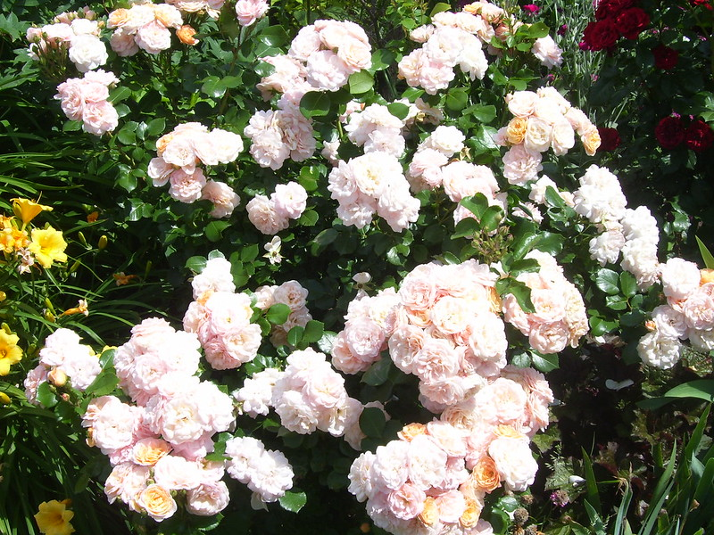 Svet Biljaka › Forums › BAŠTENSKE BILJKE › Ruže › Preporuke za vrste ruza, pr...