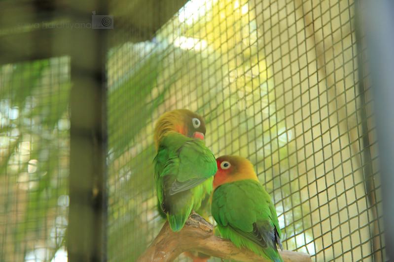 Burung Lovebird dalam sangkar di Bali Bird Park