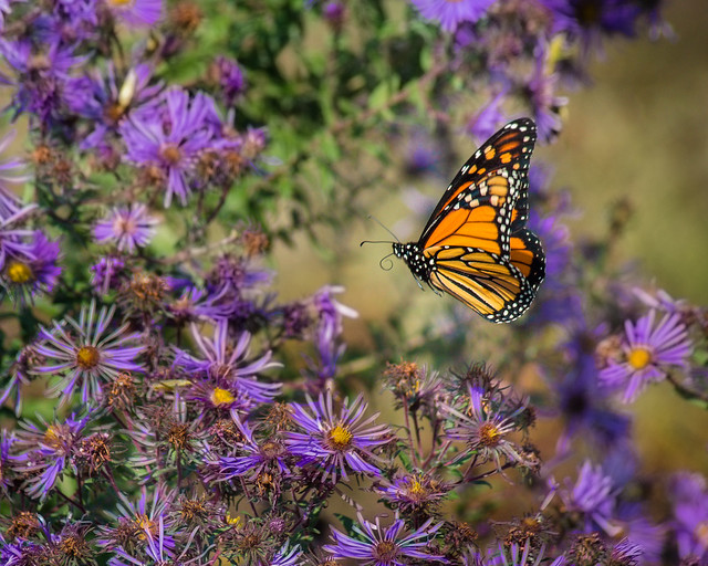 Butterfly, Monarch, Aster, Flowers, Wildflowers, Monarch Butterfly, Flying
