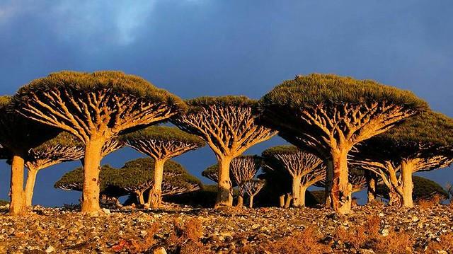 Árboles de Socotra