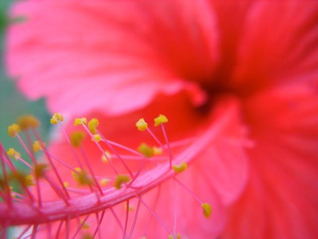 red pointesia close up