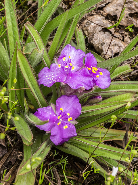 Hairystem Spiderwort