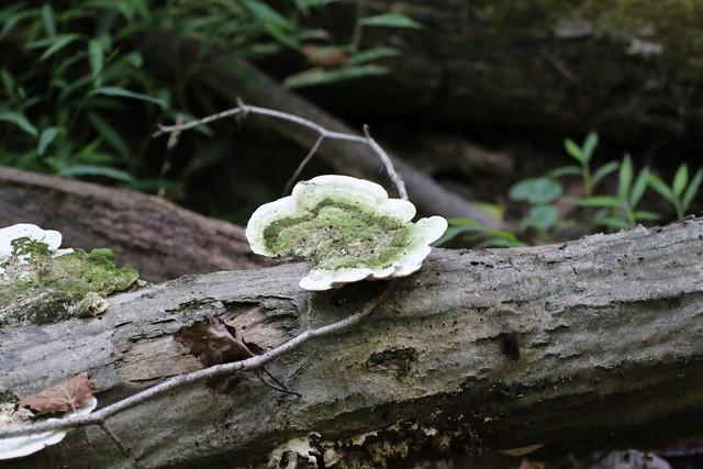 Turkey Tail Mushroom ?