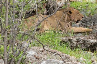Junger Löwe nach der Jagd