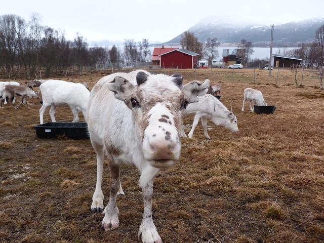 Renos en Laponia Noruega