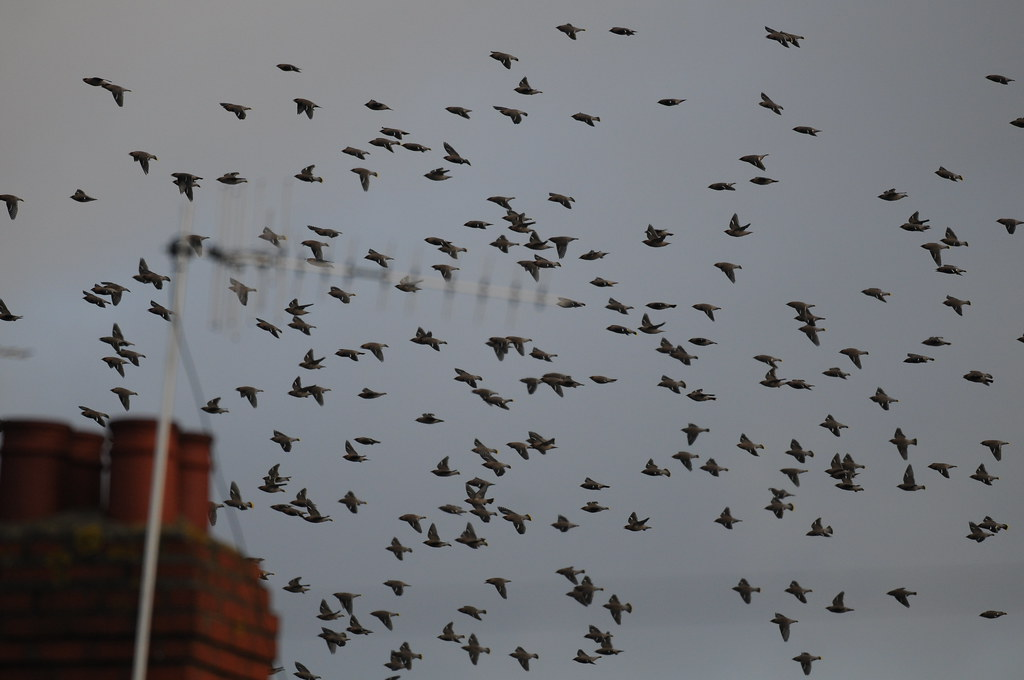 Waxwings in flight