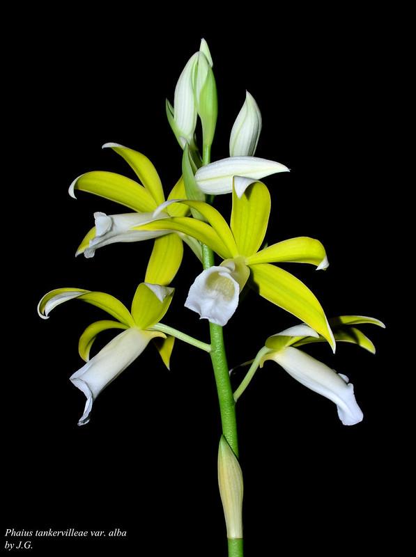 was bl ht im januar alle naturformen und prim rhybriden au er phalaenopsis seite 2. Black Bedroom Furniture Sets. Home Design Ideas