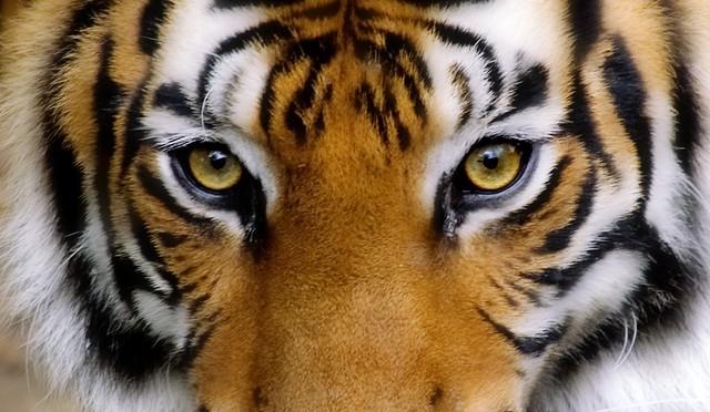 La mirada del tigre (¡Nos vamos a India!)