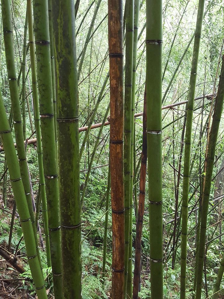 竹林裡的不同顏色,觀察看看,有些竹節上有白黴。攝影:黃千桓。