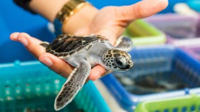 剛孵出的小海龜,會先帶回實驗室飼養,等到體型夠大,才能進行性別判定。實驗結束後,這些小海龜都會野放回大海。 圖片來源:Florida Atlantic University