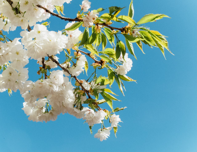 white blossom against clear blue sky