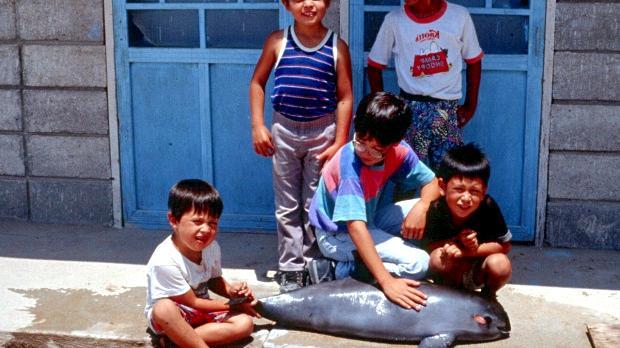 小頭鼠海豚。圖片來源:OCEAN TREASURES。