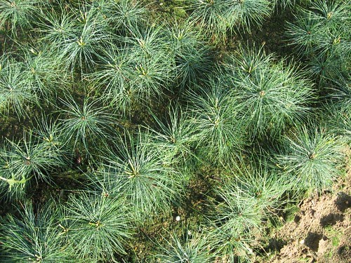Photo of white pine seedlings at nursery