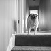 pug on stairs 01-750