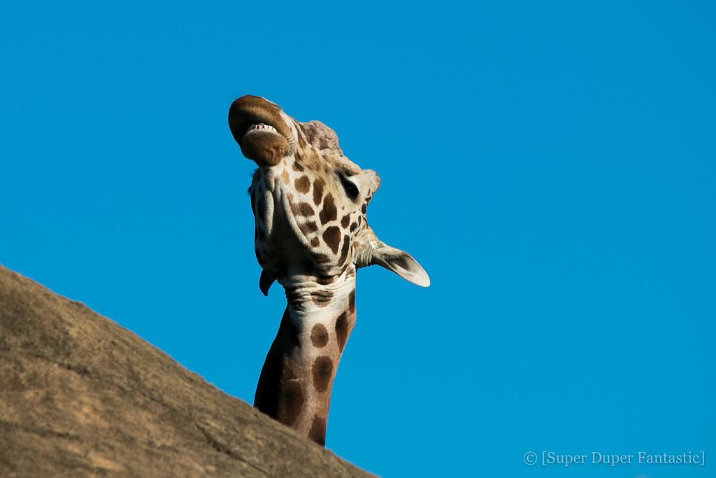 San Francisco Zoo - Giraffes