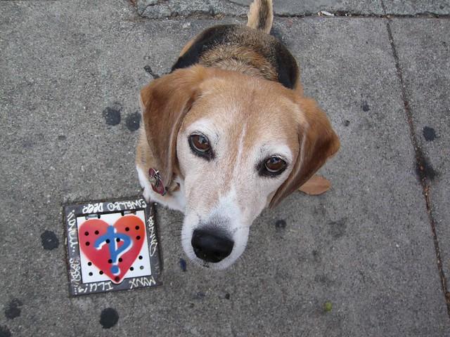 Huxley Beagle hunting for hearts on Valencia Street