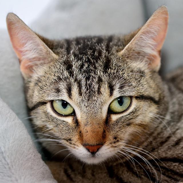 Tigris, gatita atigrada parda de ojazos verdes y cara redondita, tímida y sumisa esterilizada, nacida en Septiembre´15, en adopción. Valencia. ADOPTADA. 24961877100_5cf8fea0d2_z
