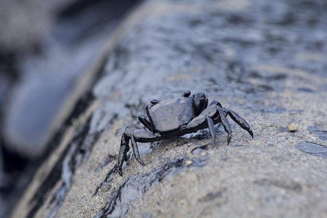 潮間帶生物首當其衝受害,全身滿是油污的螃蟹。攝影:周昭蕊。