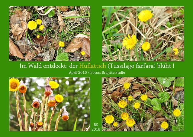 Huflattich (Tussilago farfara) Waldspaziergang April 2016 Foto: Brigitte Stolle