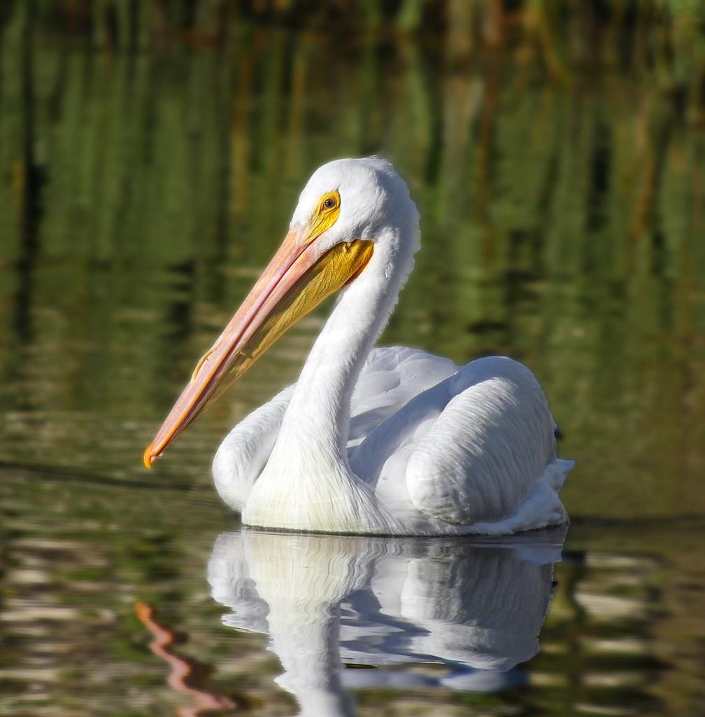 Pelicans Pelecanus Erythrorhynchos: American White Pelican (Pelecanus Erythrorhynchos)