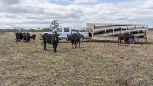 Josh Eilers managing a Wagyu beef herd