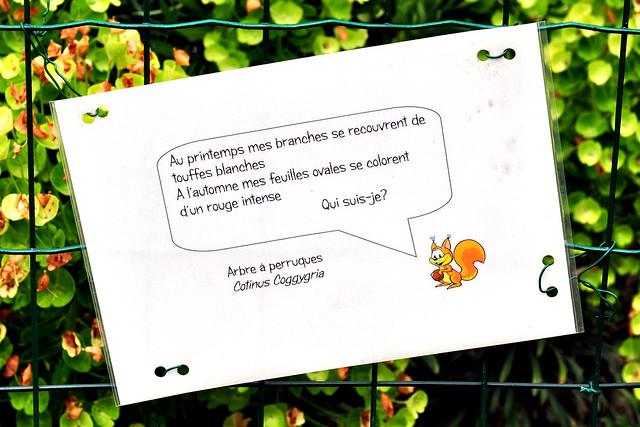 Pflanzen-Quiz Rätsel französisch deutsch Au printemps mes branches se recouvrent de touffes blanches.A l'automne mes feuilles ovales se colorent d'un rouge intense.Qui suis-je? Im Frühling bedecken sich meine Zweige mit weißen Büscheln. Im Herbst verfärben sich meine ovalen Blätter in ein intensives Rot.Wer bin ich? Arbre à perruques - Perückenstrauch (Cotinus Coggygria) -  Der Perückenstrauch, lateinisch Cotinus, lieferte laut Plinius schon in der Antike einen dem Purpur vergleichbaren Farbstoff. Foto Brigitte Stolle