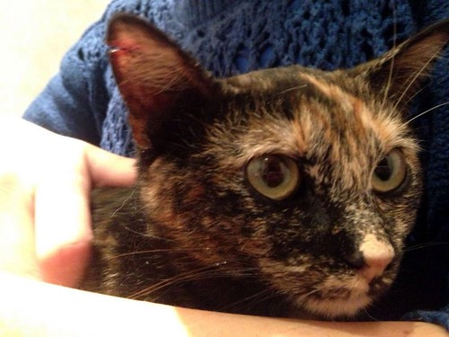 Sunny, preciosa gatita Carey mimosona y muy buena esterilizada, nacida en Septiembre´15, en adopción. Valencia. FALLECIDA. 26256309100_185bd580d9