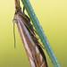 Hook-streaked Grass-Veneer