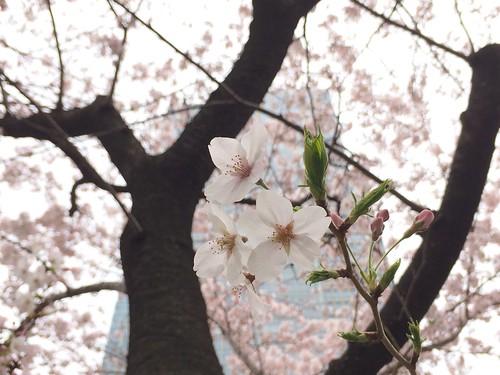 東京ミッドタウンの桜 2016.4.1