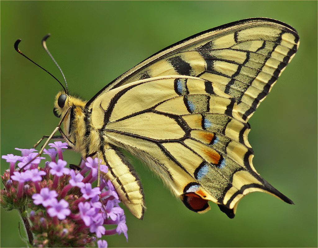 old world swallowtail papilio machaon the old world