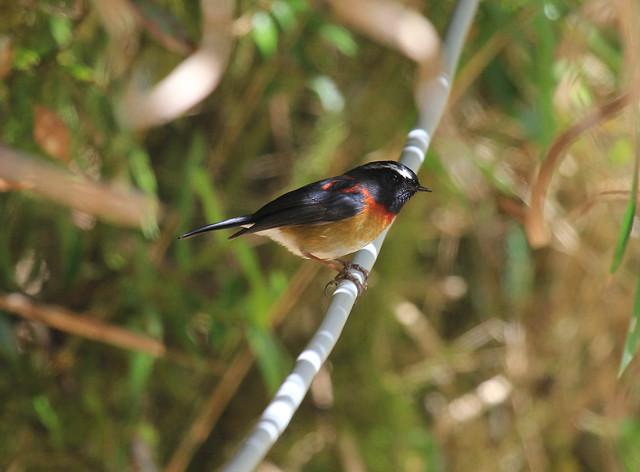 栗背林鴝是台灣特有種鳥類,雄鳥色澤美麗,鳴叫聲優美,一直以來都受到許多人喜愛。攝影:呂翊維