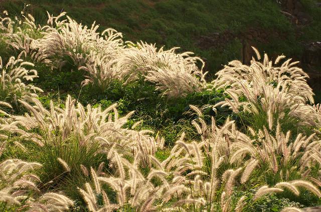 African fountain grass, La Orotava, Tenerife