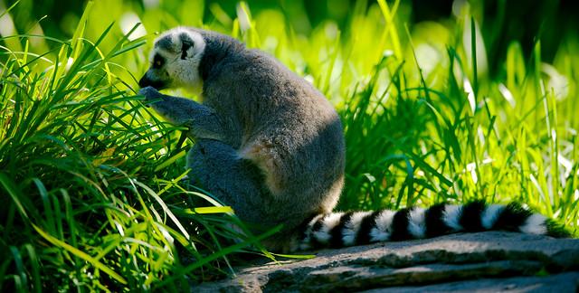 Ring-tailed Lemur (Lemur catta)_2