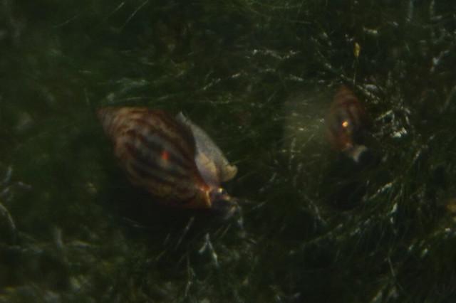 Identificación caracol: Melanopsis tricarinata 25587797040_8d6e64cee0_z