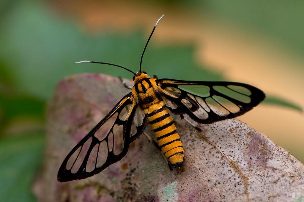 Amata grotei - a Wasp Moth | Chiang Dao NP, Chiang Mai ...