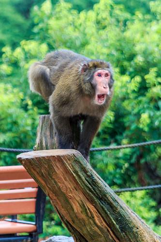 Iwatayama Monkey Park, Kyoto  Flickr - Photo Sharing!