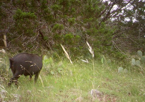 Trail camera showing a feral swine approaching the turkey's nest site in Texas