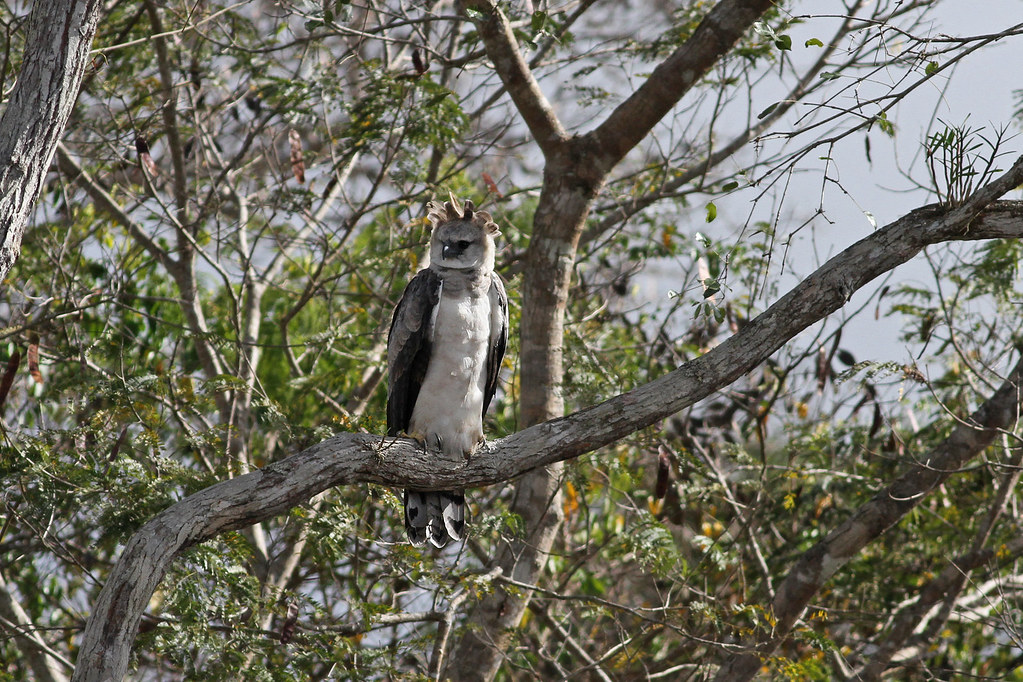 Harpy Eagle (Harpia harpyja) | 3rd year bird near nest ...