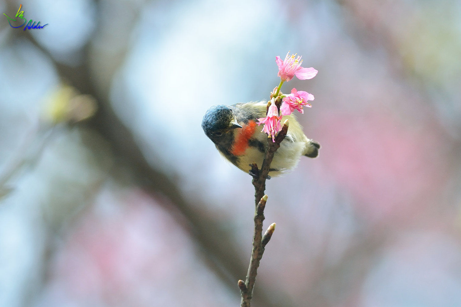 Fire-breasted_Flowerpecker_1745